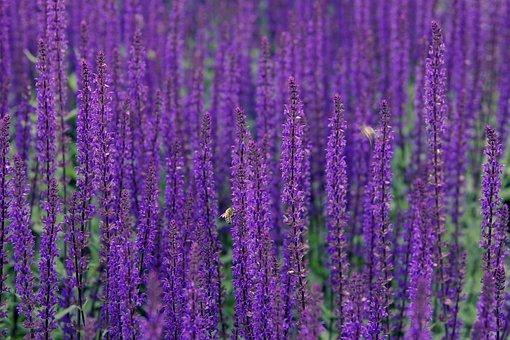 lavender-2396778__340