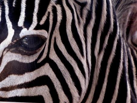 zebra-61180__340