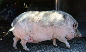 pot-bellied-pig-2216821__340