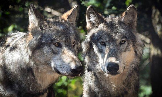 wolf-2984865__340