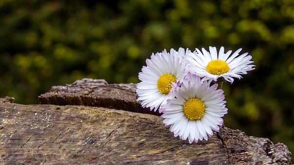 daisy-1350585__340
