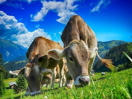 cows-2641195__340